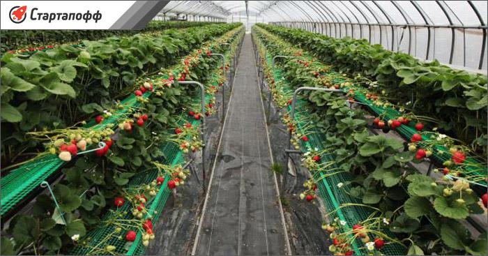 промышленная теплица по выращиванию клубники