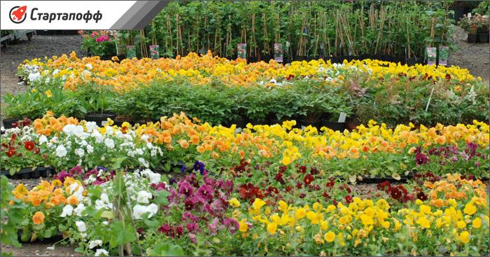 Изображение - Выращивание цветов в теплице как бизнес rassada-tsvetov-dlya-prodazhi