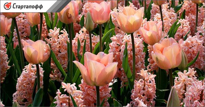 Тюльпаны выгодно выращивать на продажу