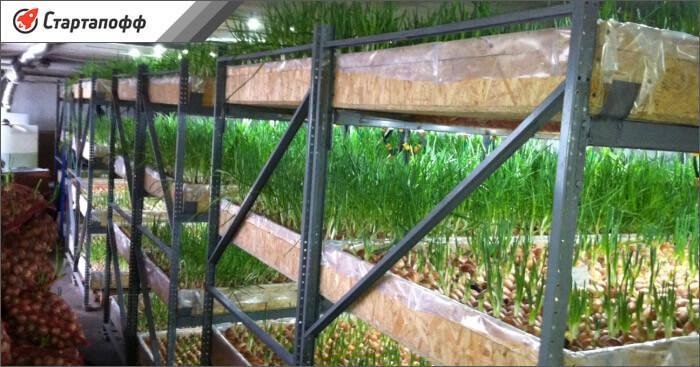 Выращивание лука на многоярусных стеллажах