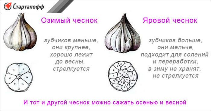 Изображение - Выращивание чеснока как бизнес vidy-chesnoka