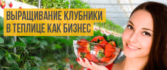 выращивание клубники в теплице как бизнес_мини